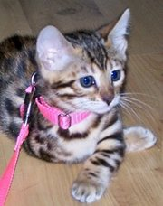 LOVELY BENGAL KITTEN FOR SALE
