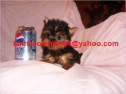 Home Trained male And Female Teacup Yorkie Puppies Available!!!!