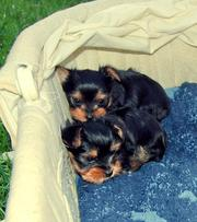 Healthy Looking Male And Femeacup Yorkie Puppies Available