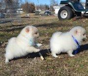 Succulent Pomeranian puppies