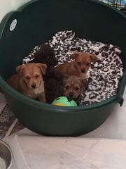 Terrier pups jackrussell x yorkiedoddle