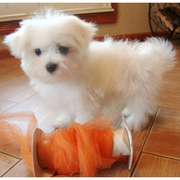 LOVELY MALTESE PUPPY FOR A NEW HOME