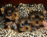T-cup yorkie puppies available