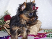 Male and Female Yorkie Puppies For Adoption/FREE