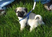 I have these two lovely  admirable PUG puppies for pets loving homes.