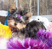 two yorkie puppies for free