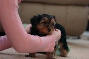 Potty Trained Teacup Yorkie Puppies For Free Adoption