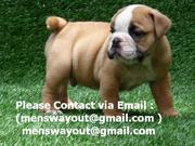 Wow!!! Cute English Bulldog Puppies Available