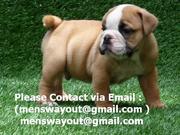 Wow!!! Cute English Bulldog Puppies Available